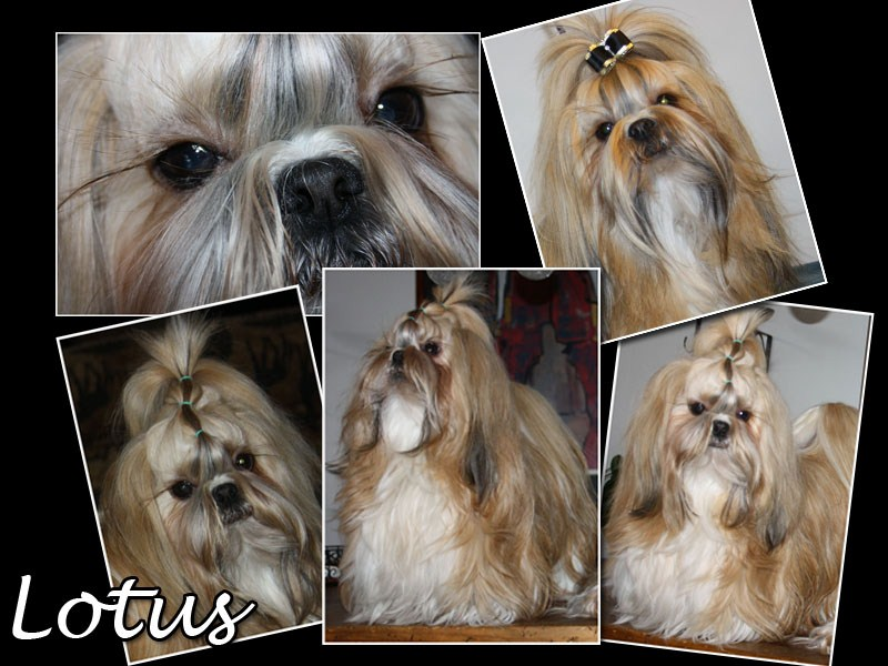 Happy Noise Kis Twice Miss Lotus Shih Tzu